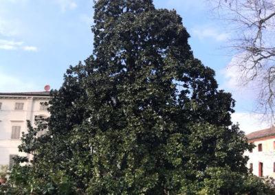 magnolia-secolare-Cordoba-potatura-2018